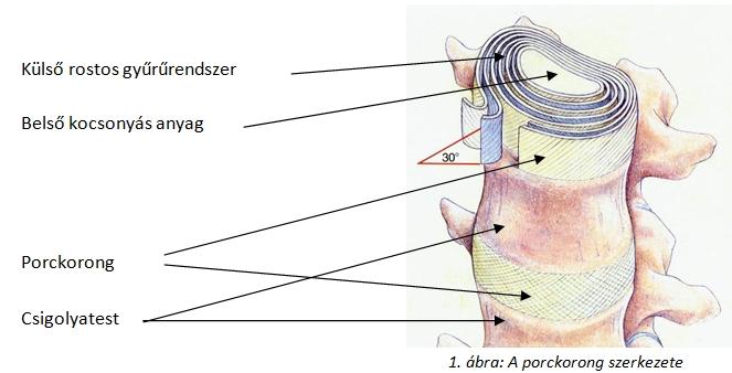 A porckorong anatómiája, porckorongsérv műtét, gerincsérv műtét