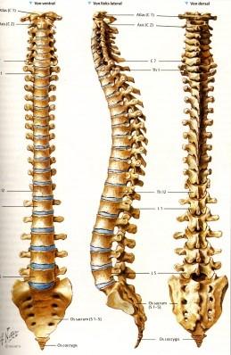Az egészséges gerinc